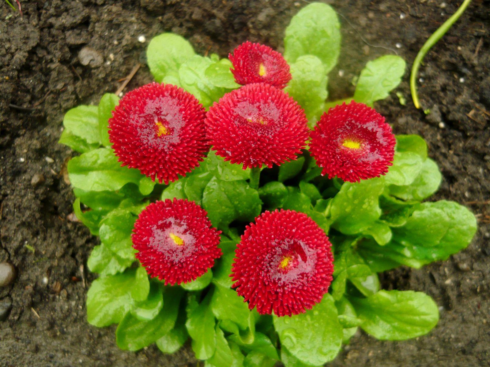 Маргаритка весна красна фото
